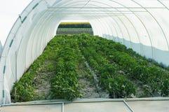 Plantor av peppar i ett växthus Royaltyfri Fotografi