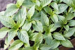 Plantor av spansk peppar royaltyfri bild