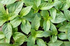 Plantor av spansk peppar royaltyfri fotografi