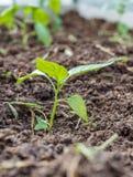 Plantor av spansk peppar i jordningen royaltyfria foton