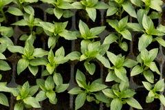 Plantor av spansk peppar i plast- askar på växthuset Arkivfoton