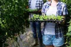 Plantor av tomaten Växande tomater i växthuset arkivbild