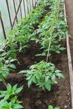 Plantor av tomaten V?xande tomater i v?xthuset V?xa av gr?nsaker i v?xthus royaltyfria foton