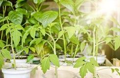 Plantor av tomater och peppar i en solstråle i individuella krukor, innan att plantera i jordningen arkivfoto