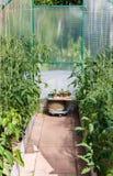 Plantor av tomater och spansk peppar royaltyfria bilder
