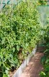 Plantor av tomater och spansk peppar arkivfoton