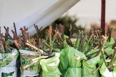 Plantor av unga rosor som packas i, ställer ut i trädgårdmarknaden Växter för att plantera i jordningen, försäljning arkivfoton