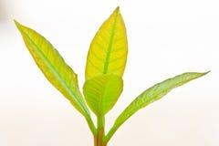 plantor för bakgrundscashewlampa Arkivbild