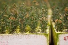 Plantor för balsamgran Arkivfoton