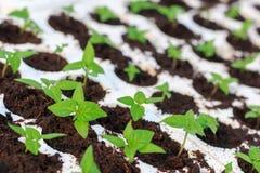 Plantor för chilipeppar arkivfoton