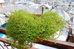 Plantor för grön växt med snöig sikt royaltyfri bild