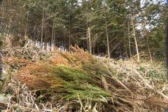 Plantor för japanskt cederträ Royaltyfri Bild