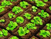 Plantor i briketter Fotografering för Bildbyråer