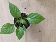 Plantor i en krus ovanför sikt Odling av kultiverade växter hemma, innan att plantera på sängar i trädgården Royaltyfri Fotografi