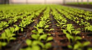 Plantor i växthus Sallad Arkivfoto