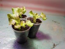 Plantor - mycket h?rliga plantor av gr?nsallat i en kruka eller en kopp arkivbild