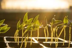 Plantor på fönstret, ung växt med vatten Arkivfoton