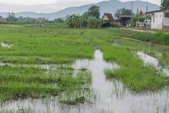 Plantor risen Arkivbild