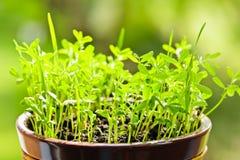 Plantor som växer i kruka Royaltyfria Bilder
