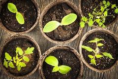 Plantor som växer i krukor för torvmossa Royaltyfri Bild