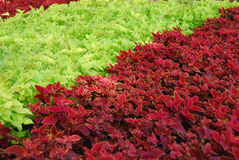 Plants. A garden mix of red and green plants stock photo