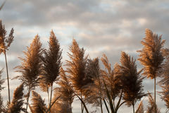 Plants Against the Sky. Grasses with seed heads backdropped with a cloudy sky Royalty Free Stock Photo