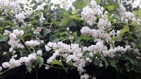 plants Antigonon leptopus hook. chain of love royalty free stock images
