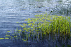 Plants and aquatic plant on blue lake water surface. Royalty Free Stock Images