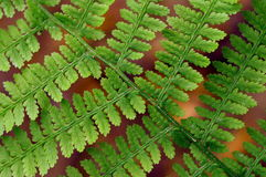 Green plant background. Wallpaper. Green plant background. A fern background from nature. Wallpaper Royalty Free Stock Photos
