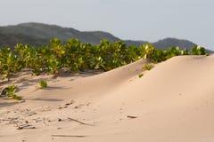 Plants on the beach. Marine shoreline plants on the sand Royalty Free Stock Photo