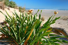 Plants on a beach. A close up view of plants on a beach. Pancratium Maritimum Royalty Free Stock Photo