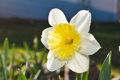 Bright daffodil on a background of green garden stock photography