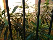 Plants behind bars. Plants behind bars in a school of corfu Stock Photos