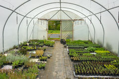 Plants being grown inside a polytunnel Stock Images