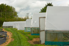 Plants being grown inside a polytunnel Stock Image