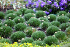 Plants in botanical garden. Armeria Royalty Free Stock Photography