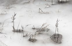 Plants breaking through Ice on Loch Pityoulish in Scotland. Plants breaking through Ice on Loch Pityoulish in the Cairngorms National Park of  Scotland Royalty Free Stock Image