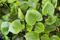 Plants Calla marsh  in June Royalty Free Stock Image