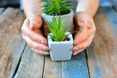 Plants care concept. Girl hands with green home plants in flower pots on a rustic wooden background. Plants care concept. Girl hands with green home plants in stock images