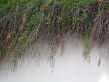 Plants Cascading Over White Stucco Wall Stock Images
