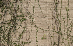 Plants climb the old wall. Royalty Free Stock Image