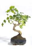 Plants - closeup of a bonsai Royalty Free Stock Photos
