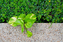 Plants and cobblestone floor Royalty Free Stock Image