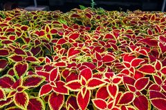 Plants of Coleus Blumei stock images
