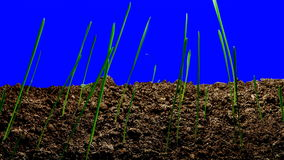 Time-Lapse Green Grass Growing – Isolated stock footage