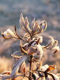 Plants covered in hoar frost. During sunrise Stock Image