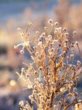 Plants covered in hoar frost. During sunrise Stock Photos