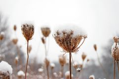Plants covered by snow. Winter flowers covered by white snow royalty free stock images