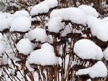 Plants covered with snow, southern Bohemia. Czech Republic Royalty Free Stock Images
