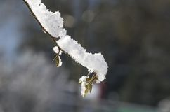 plants covered with snow Stock Photography